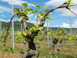 Ebourgeonnage sur le blog vin et gastronomie gourmet odyssey - Acheter pied de vigne ...